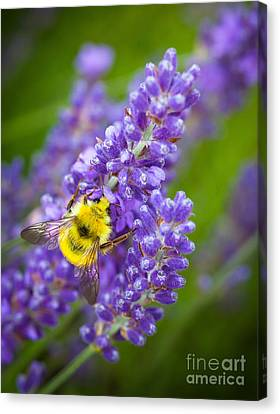 Bumble Bee And Lavender Canvas Print by Inge Johnsson