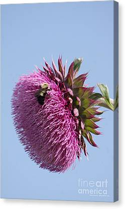 Bumble Bee And Thistle Canvas Print by Tannis  Baldwin