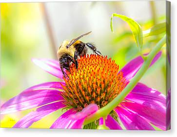 Cone Flower Canvas Print - Bumble Bee by Bob Orsillo