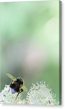 Canvas Print featuring the photograph Bumble Bee by Jivko Nakev