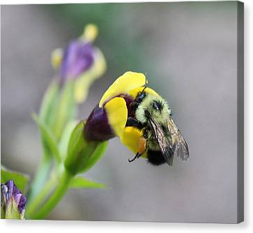 Canvas Print featuring the photograph Bumble Bee Making A Wish by Penny Meyers
