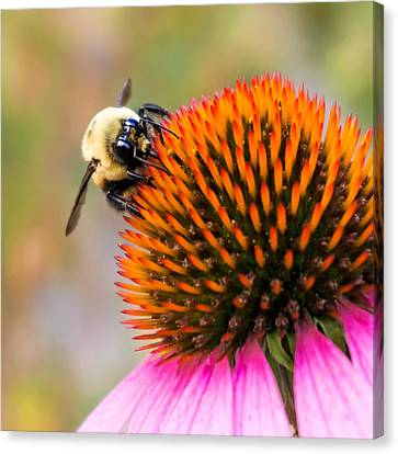 Bumble Bee On Coneflower Canvas Print by Jim Hughes