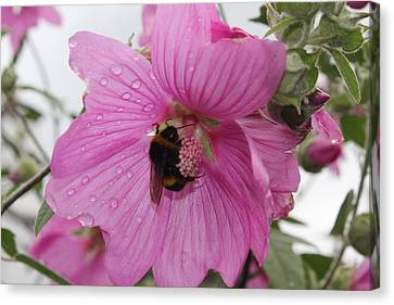 Bumble Bee On Lavatera Canvas Print by David Grant
