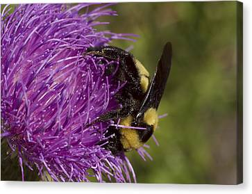 Bumble Bee On Thistle Canvas Print by Shelly Gunderson