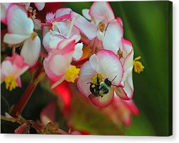 Bumble Bee Series Iv Canvas Print by Suzanne Gaff