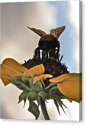 Bumblebee Canvas Print by Kim Pippinger