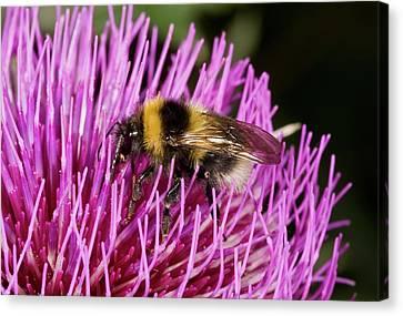 Eating Entomology Canvas Print - Bumblebee Feeding On Thistle Flower by Bob Gibbons