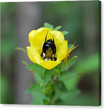 Bumblebee Flower Canvas Print by Candice Trimble
