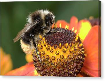 Bumblebee On A Flower Canvas Print by Nigel Downer
