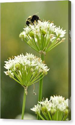 Canvas Print featuring the photograph Bumblebee On Garlic Chives by Rebecca Sherman