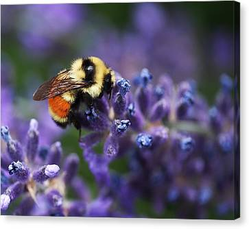 Canvas Print featuring the photograph Bumblebee On Lavender by Rona Black