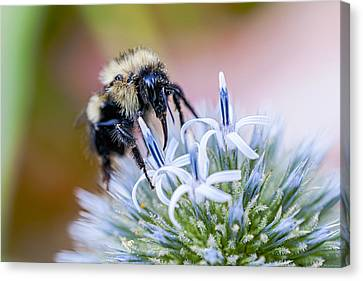 Canvas Print featuring the photograph Bumblebee On Thistle Blossom by Marty Saccone