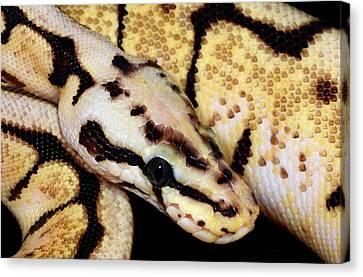 Bumblebee Royal Python Canvas Print by Nigel Downer