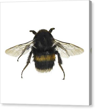 Bumblebee Canvas Print by Science Photo Library