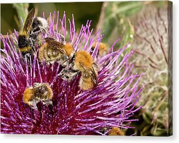 Eating Entomology Canvas Print - Bumblebees Feeding On Thistle Flower by Bob Gibbons