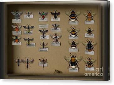 Bumblebees - Wild Bees - Wesps - Yellow Jackets - Ichneumon Flies - Apiformes Vespulas Hymenopteras  Canvas Print by Urft Valley Art