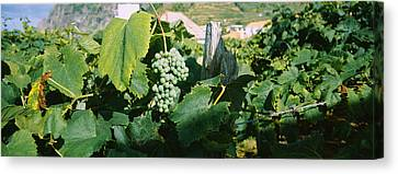 Winemaking Canvas Print - Bunch Of Grapes In A Vineyard, Sao by Panoramic Images