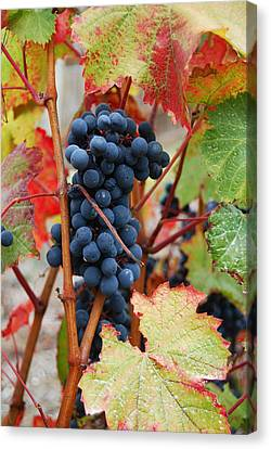 Bunch Of Grapes Canvas Print by Jani Freimann