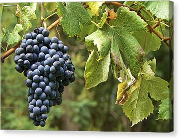 Bunch Of Grapes Canvas Print by Paulo Goncalves