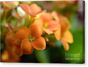 Bunch Of Small Orange Flowers Canvas Print by Sami Sarkis
