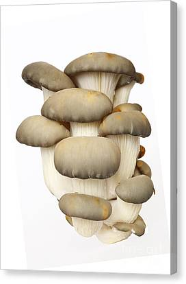 Raw Oyster Canvas Print - Bunch Of The Oyster Cap Mushroom by Michal Boubin