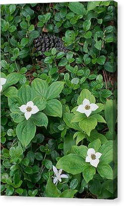 Bunchberry Canvas Print