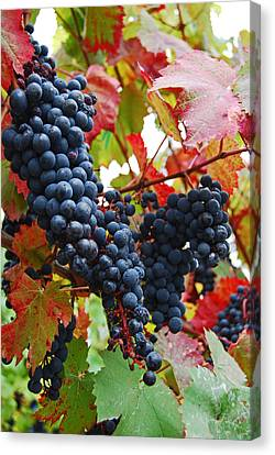Bunches Of Grapes Canvas Print by Jani Freimann
