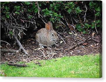 Canvas Print featuring the photograph Bunny In Bush by Debra Thompson