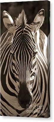 Canvas Print featuring the photograph Burchell's Zebra by Chris Scroggins
