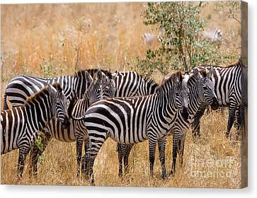 Burchells Zebra Equus Burchelli Canvas Print