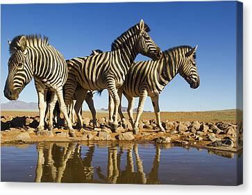Burchells Zebras At Waterhole Namibrand Canvas Print