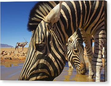 Burchells Zebras At Waterhole With Oryx Canvas Print by Theo Allofs