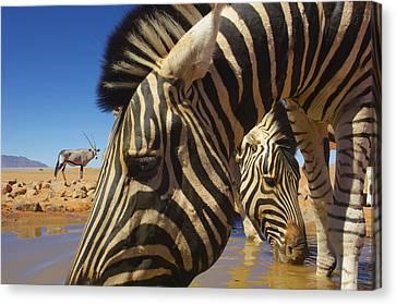 Burchells Zebras At Waterhole With Oryx Canvas Print
