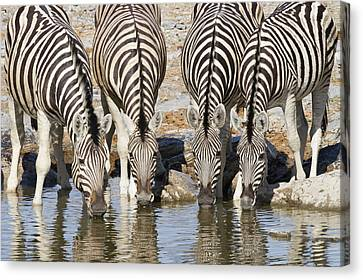 Burchells Zebras Drinking Etosha Np Canvas Print