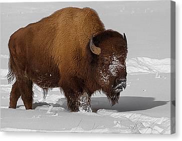 Burly Bison Canvas Print by Priscilla Burgers