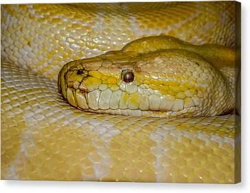 Burmese Python Canvas Print by Ernie Echols