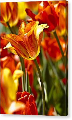 Tulips-flowers-tulips Burning Canvas Print by Matthew Miller