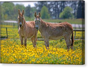 Burros In The Buttercups Canvas Print