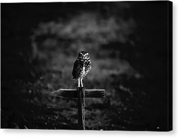 Burrowing Owl At Dusk Canvas Print by Kelly Gibson