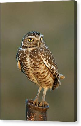 Burrowing Owl At Sunset Canvas Print by Doug Herr