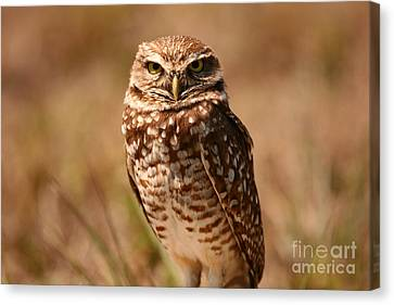 Burrowing Owl Impressions Canvas Print