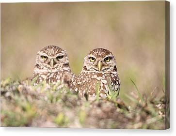 Burrowing Owl Pair Canvas Print