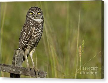 Burrowing Owl Stare Canvas Print by Meg Rousher