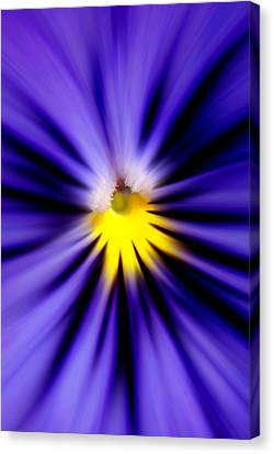 Bursting With Blue Pansy Canvas Print