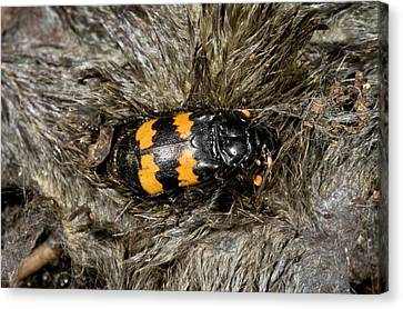Burying Beetle On A Dead Mole Canvas Print by Bob Gibbons