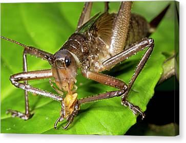 Neotropical Canvas Print - Bush Cricket Feeding by Dr Morley Read