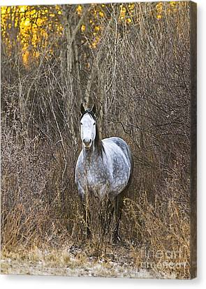 Bush Mare Canvas Print by Judy Wood