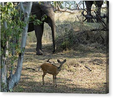 Bushbuck And Elephant In A Forest, Toka Canvas Print by Panoramic Images