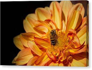 Busy Bee Dahlia Canvas Print by Linda Villers