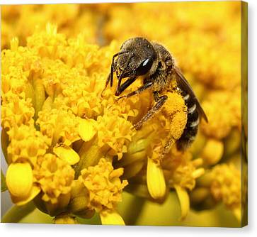 Canvas Print featuring the photograph Busy Bee by Dawn Currie